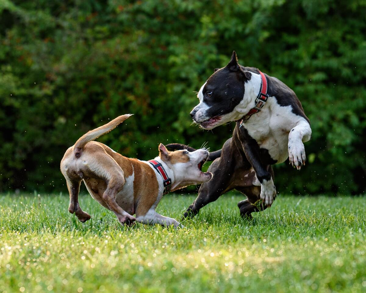 dogs chasing each other